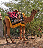 Horse and Camel Traders
